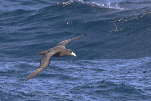 Northern Giant Petrel