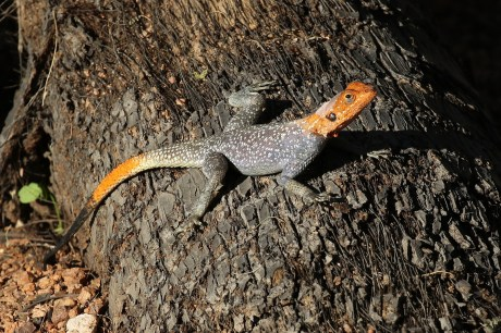 Orange-headed Lizard