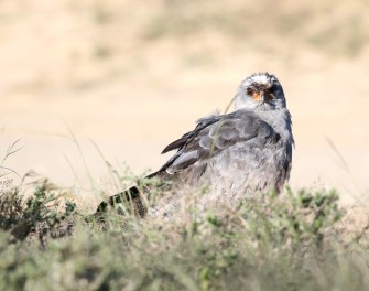 Pale-chanting Goshawk - with bloody mouth