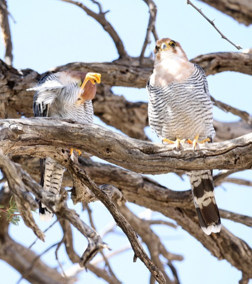 Red-necked Falcons