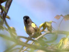 Ruppell's Parrot