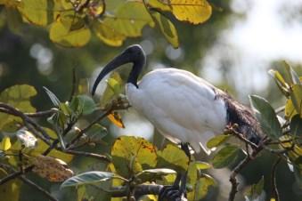 Sacred Ibis - John Bremner