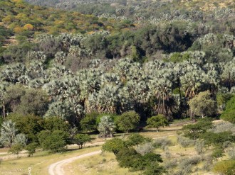 Makalani Palms