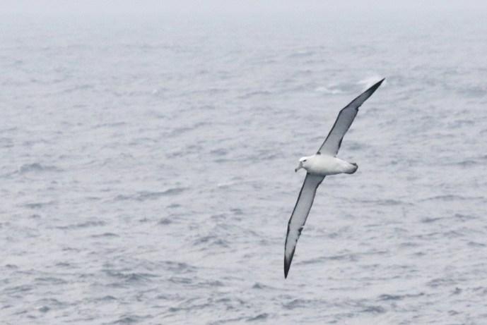 Shy Albatross - juvenile