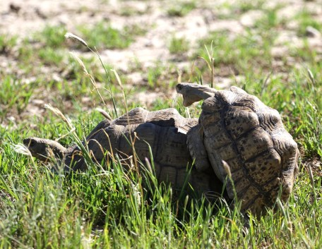 Tortoises - he was a bit too small for the job methinks