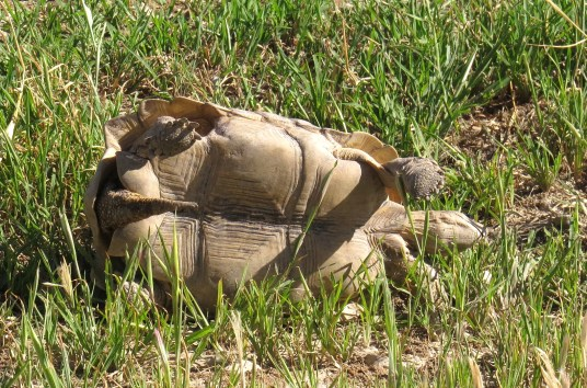 Tortoise - oops tossed off