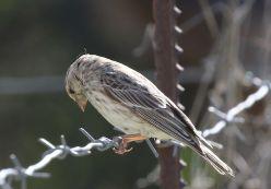 Black-throated Canary