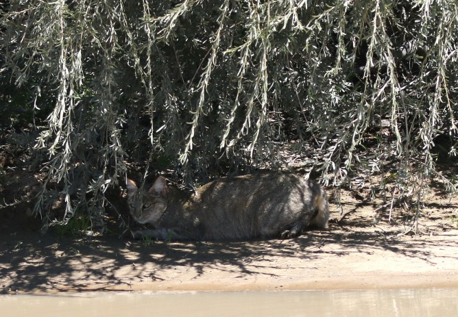 Wildcat in camouflage