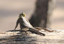 Yellow-headed Lizard