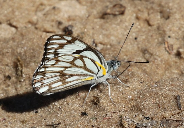 Yellow-lined Butterfly