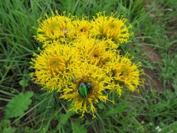Bugs on Berkheya sp. Sandi