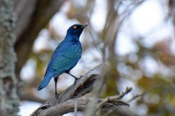 Cape Glossy Starling - Dave Rimmer