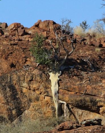 Cliff Creeping Tree