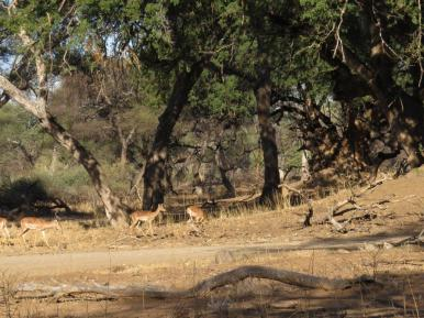Impala enjoying the trees near the Mazhou campsite