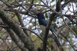 Trumpeter Hornbill (Female) - Dave Rimmer