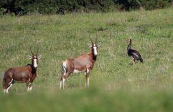 Blesbok and Spur-winged Goose - John Bremner
