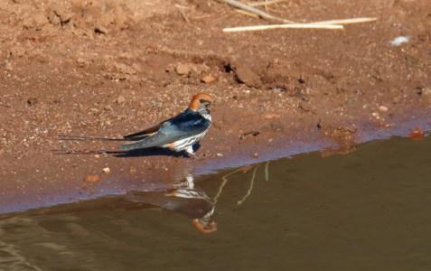 Lesser Striped Swallow - John Bremner