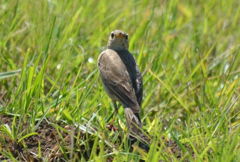 Plain-backed Pipit- Mike Stead (2)