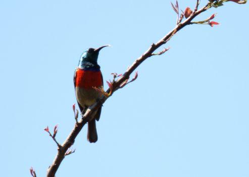 Greater Double-collared Sunbird - John Bremner