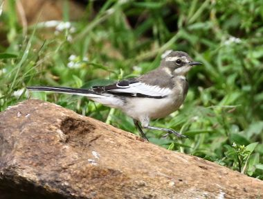 African Pied Wagtail - Mick Jackson