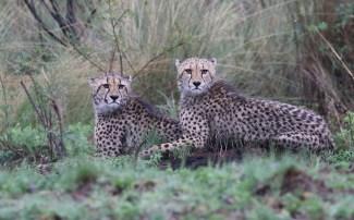 Cheetah Juveniles