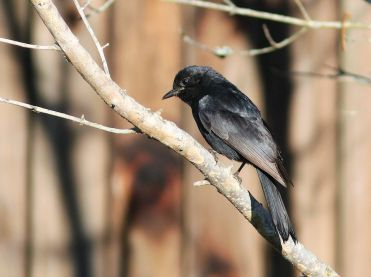 Fork-tailed Drongo - David Swanepoel