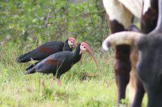 Southern Bald Ibis - David Swanepoel