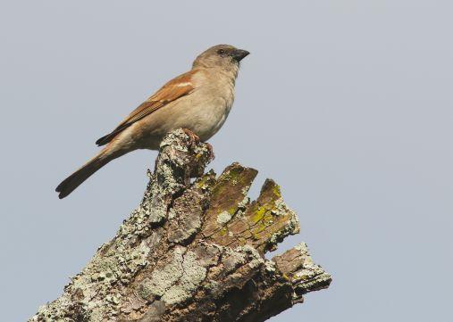 Southern Grey-headed Sparrow - David Swanepoel