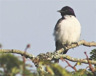 Violet-backed Starling - David Swanepoel
