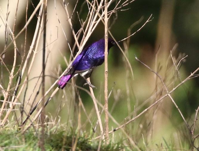 Violet-backet Starling - Mick Jackson
