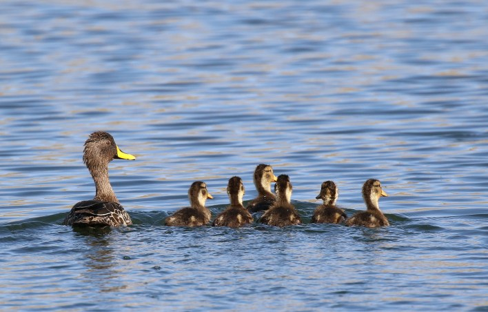 Yellow-billed Duck and ducklings