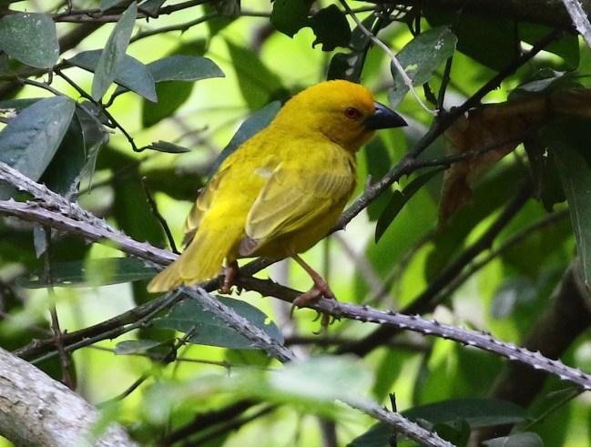 Yellow Weaver - Mick Jackson