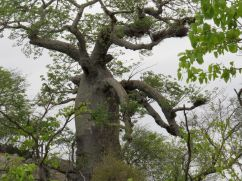 Baobab - I am going to get you.