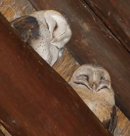 Western Barn Owls