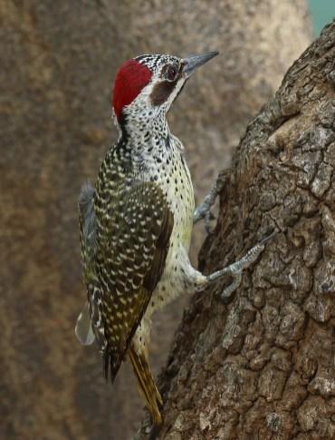 Bennett's Woodpecker female