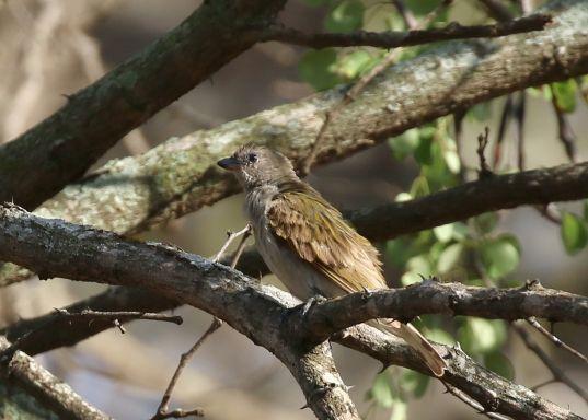 Brown-backed Honeybird