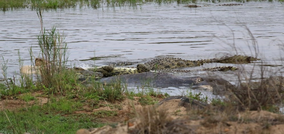 Crocodiles making a meal of a hippo