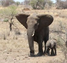 Elephant and new born