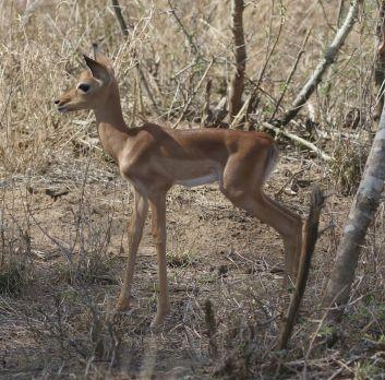 Impala new born