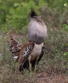 Kori Bustard in all his finery