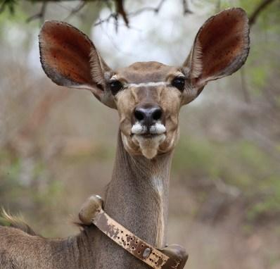 Kudu female collared