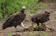 Lappet-faced Vultures - check those claws