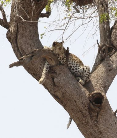 Leopard - full and sleeping it off