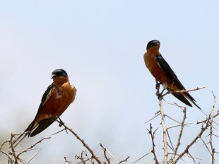 Red-breasted Swallows