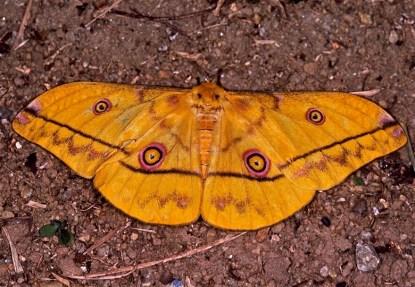 Wahlberg's Emperor moth - Sandi du Preez