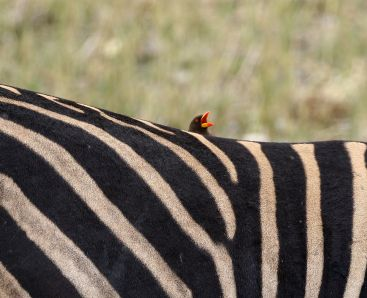 Zebra and friend the Yellow-billed Oxpecker