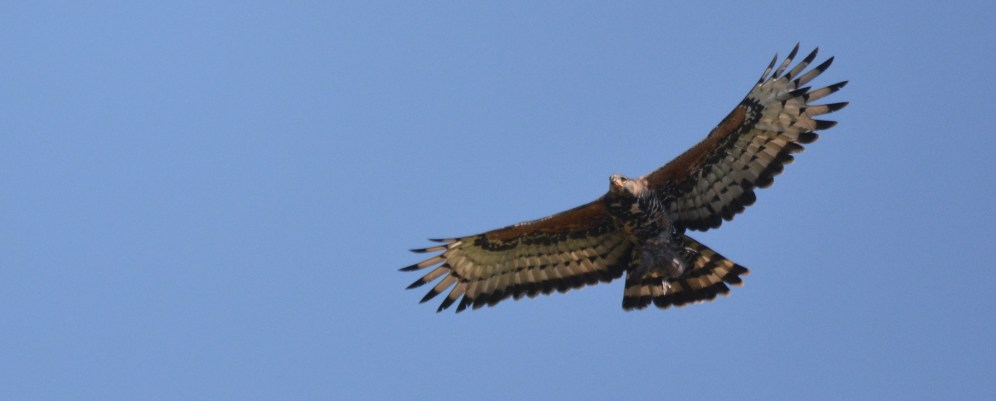 African Crowned Eagle - Mike Stead
