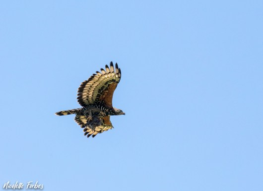 African Crowned Eagle - Nicky Forbes