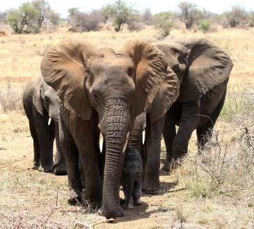 Elephant family - too close