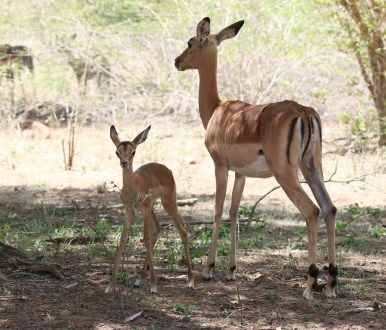 Impala with new born